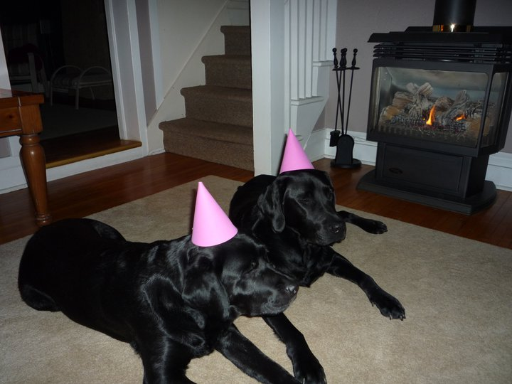 Two black Labradors with pink party hats, lying on a carpet